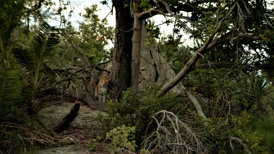 Afrika Safari Erfahrungen Leopard in Botswana