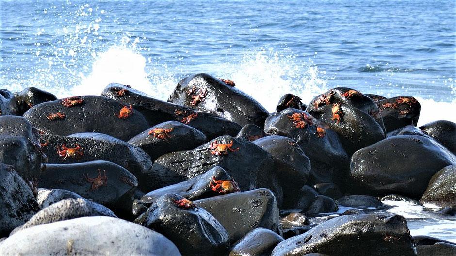 Beste Reisezeit Galapagos Klippenkrabben