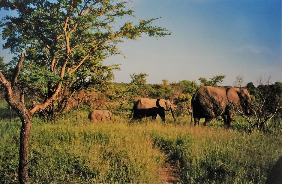 Krüger Nationalpark selbstfahren: Elefanten Parade