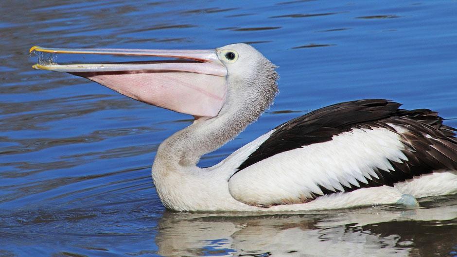 Galapagos Reiseblog Pelikan