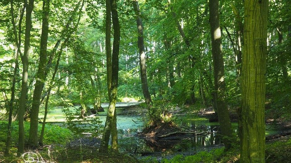 Mecklenburgische Seenplatte Sehenswürdigkeiten - Buchenwald bei Serrahn