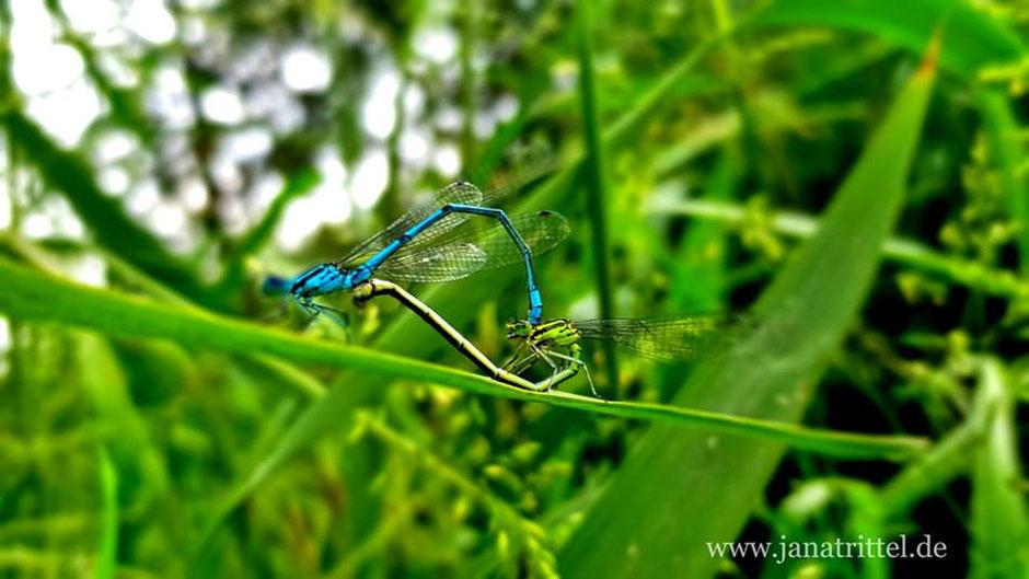 Paarungsherz liebender Libellen