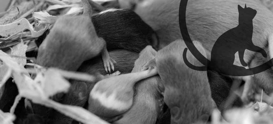 Mäusewelpen im Nest SW