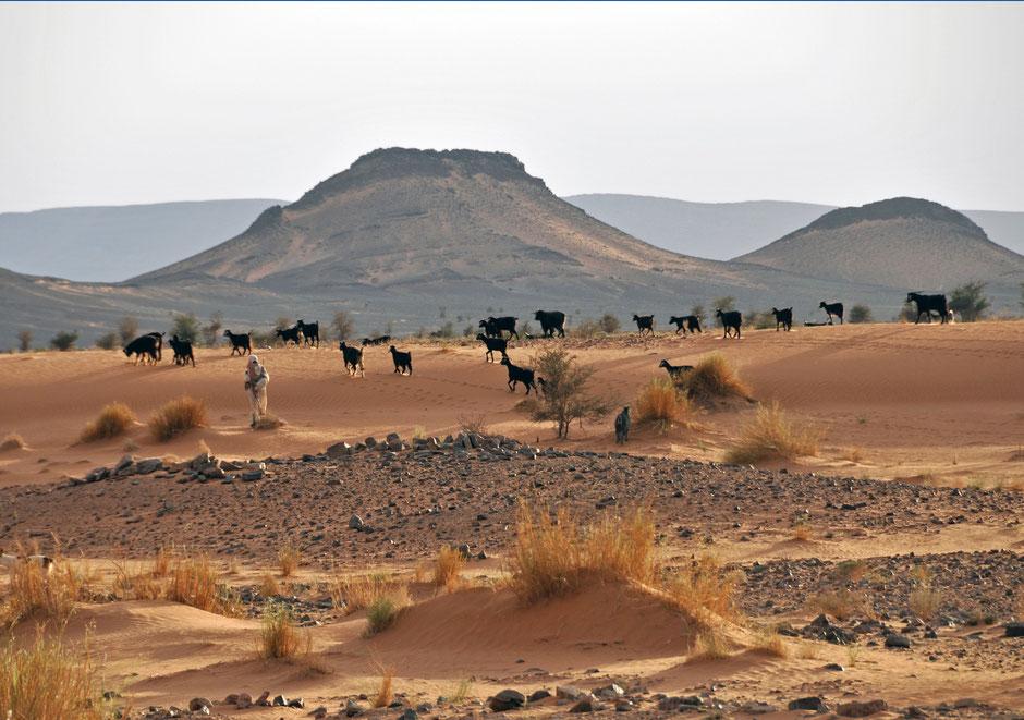 Ziegen und Hirte im Erg Chebbi, Marokko - Offroad im Mai
