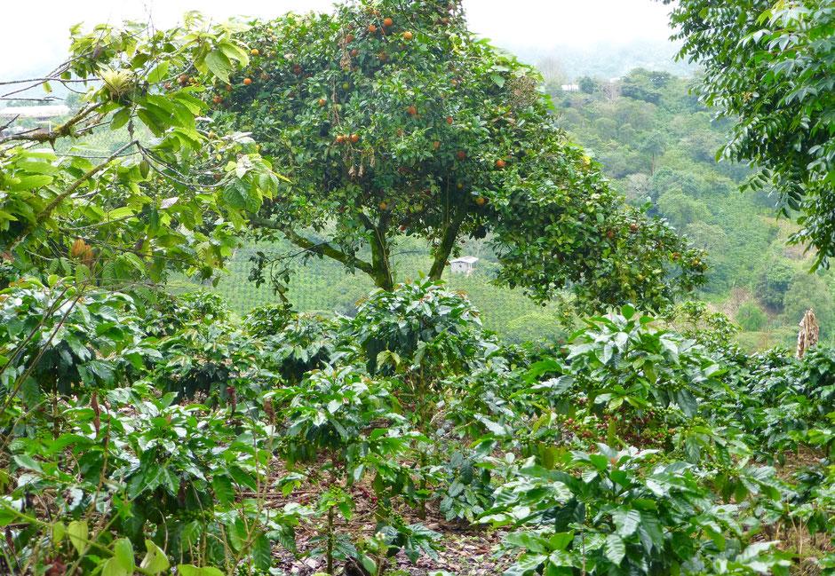 Neben unserem Kaffee aus Kolumbien (Agustino Forest) wachsen Orangenbäume. Auch im Kaffee findet man Anklänge von Orangen- und Mandarinenaromen wieder.