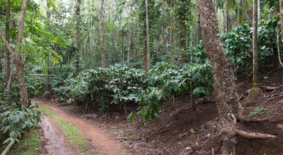 Die Kaffeepflanzen wachsen inmitten eines Mischwaldes auf. Dieser schützt die Pflanzen vor zu viel Sonneneinstrahlung, dem Austrocknen sowie einer Vielzahl von Schädlingen