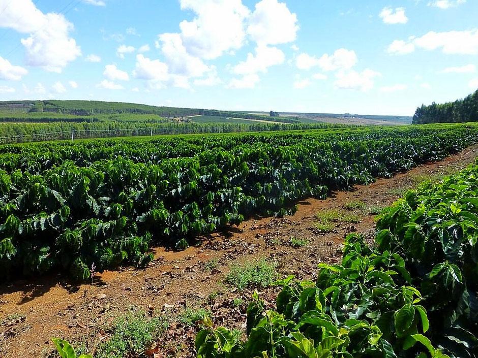 Ein Teil des Anbaugebiets der Fazenda Pántano