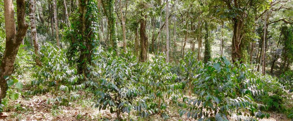 semi-forest-coffee: der Kaffee wird in mitten von Mischwäldern angepflanzt um Ihn vor der Sonne und dem austrocknen zu schützen