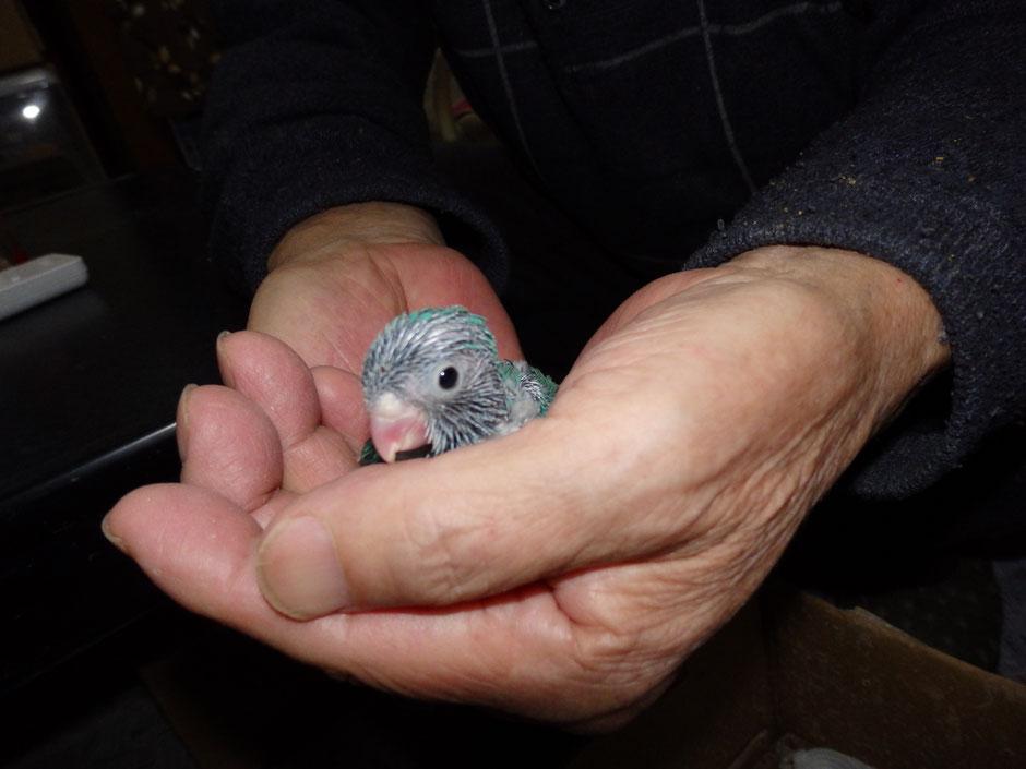 ペットミッキンに手乗りマメルリハインコのブルーが仲間入りしました。