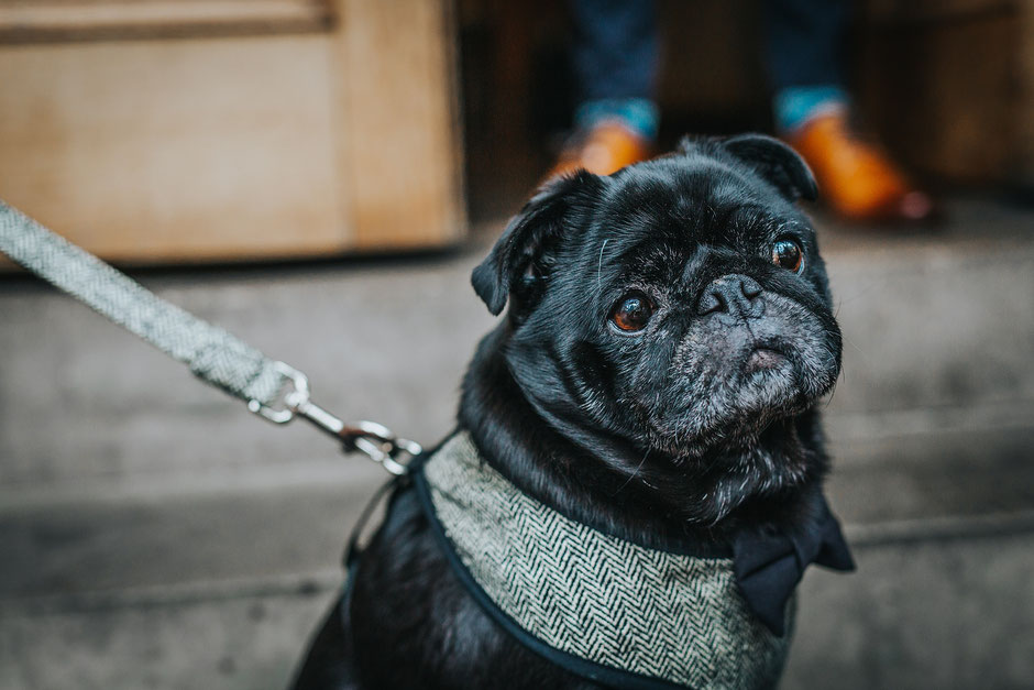 a pug dressed in tweed and a bowtie at a wedding