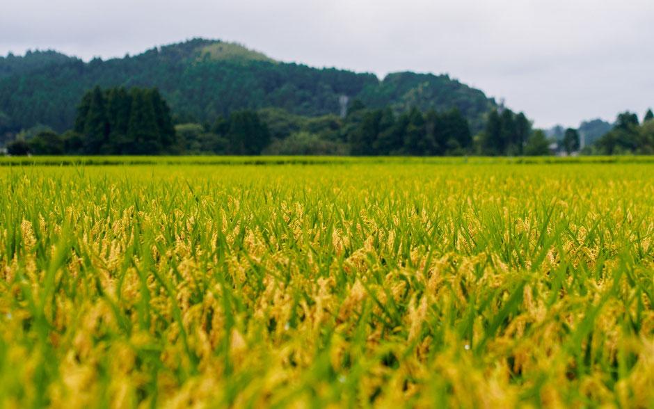 稲が実った田んぼ