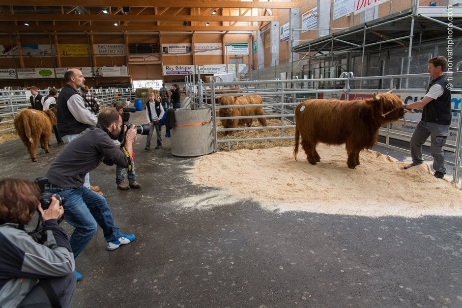 Mikem at Work, Schottische Hochlandrind, Highland Cattle Show