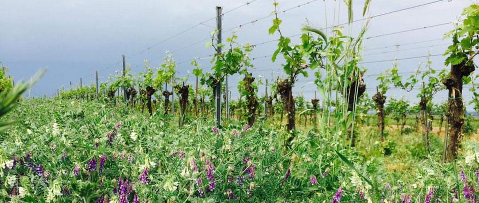 Lebendige Rebberge für hochwertige Weine