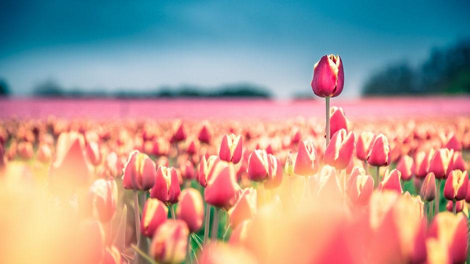 Tulipe en Provence - Forcalquier