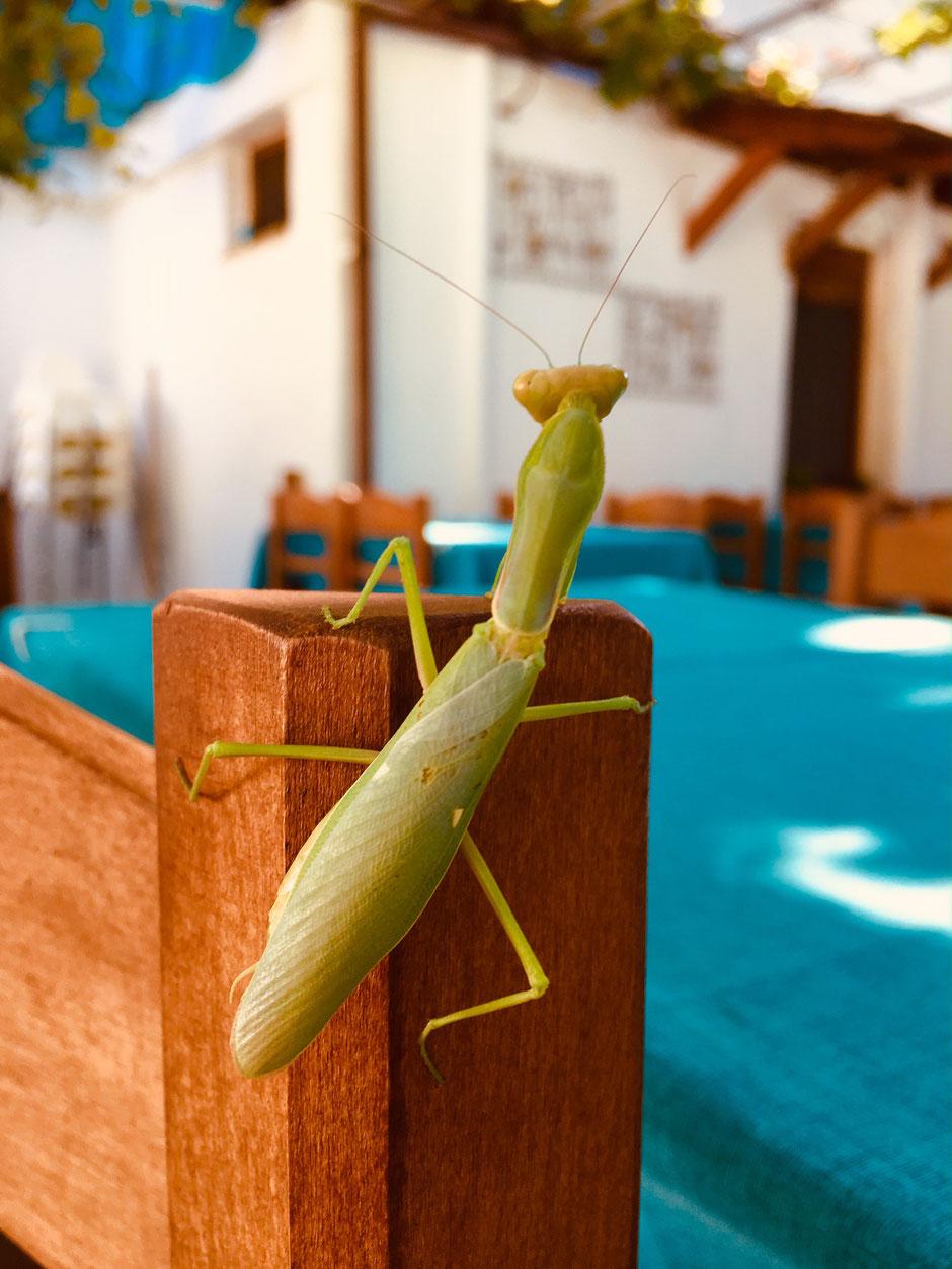 Gottesanbeterin in einer griechischen Taverna