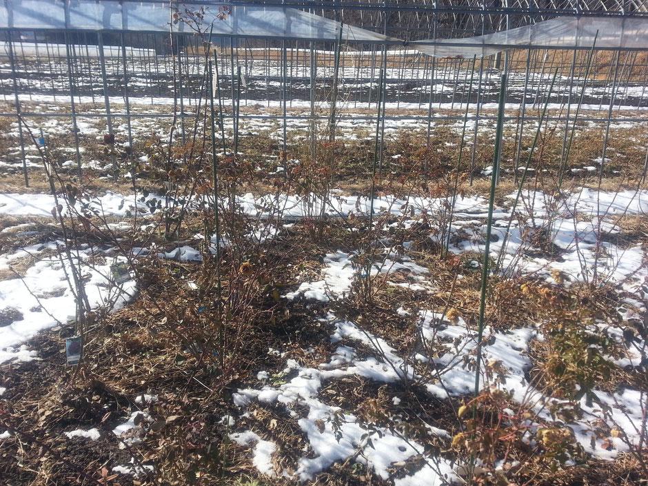 まだ冬越しの準備ができていない農場