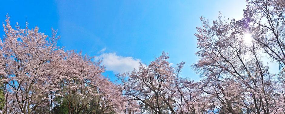 新府城の桜