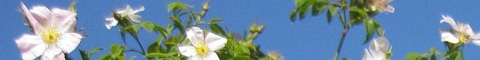 Die Heckenrose blüht an vielen Stellen, ob in unserem Garten oder auf der Geltinger Birk.