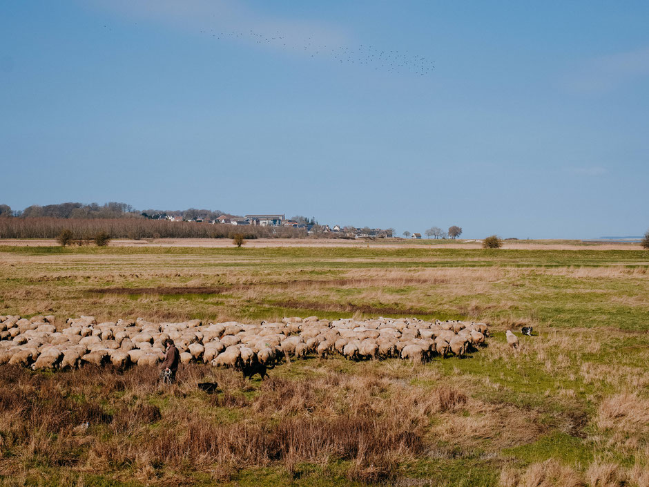 Flock of salt meadow lambs in the Baie de Somme near Saint-Valéry