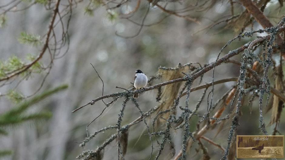 MenschundNatur-unsereZukunft, Singvögel, Trauerschnäpper