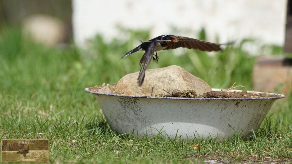 menschundnatur-unserezukunft, schwalben singvögel