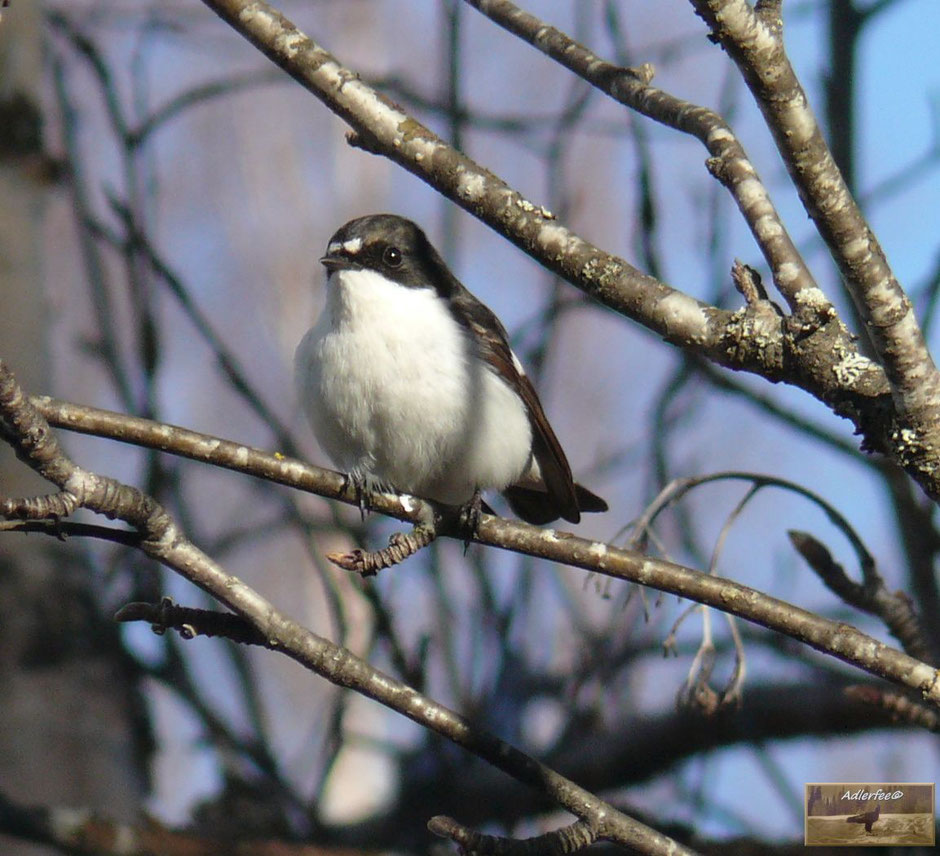 Singvögel, Trauerschnäpper, MenschundNatur