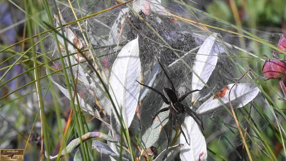 Wasserspinne mit Jungspinnen im Hintergrund, Netzgespinst