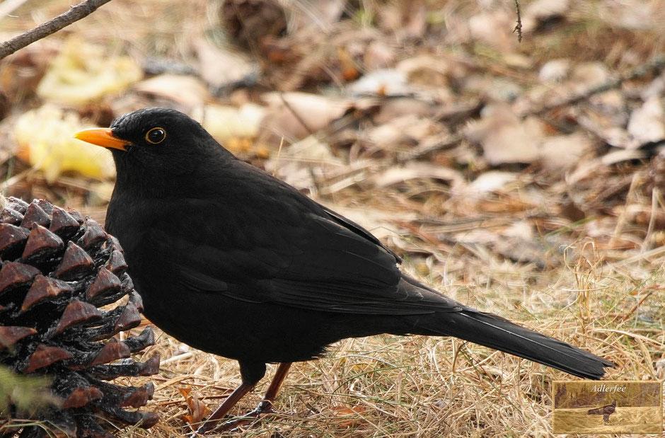 menschundnatur-unserezukunft, singvögel, amsel