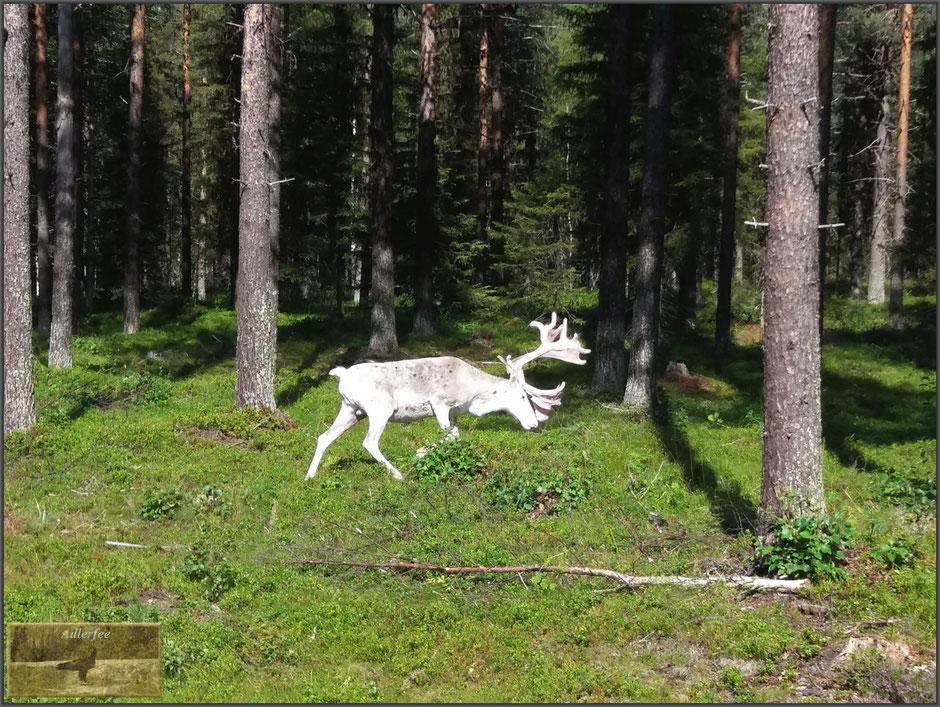 Und dann auch noch ein weißes Ren, ganz plötzlich war es da, lautlos bewegte es sich durch den Wald