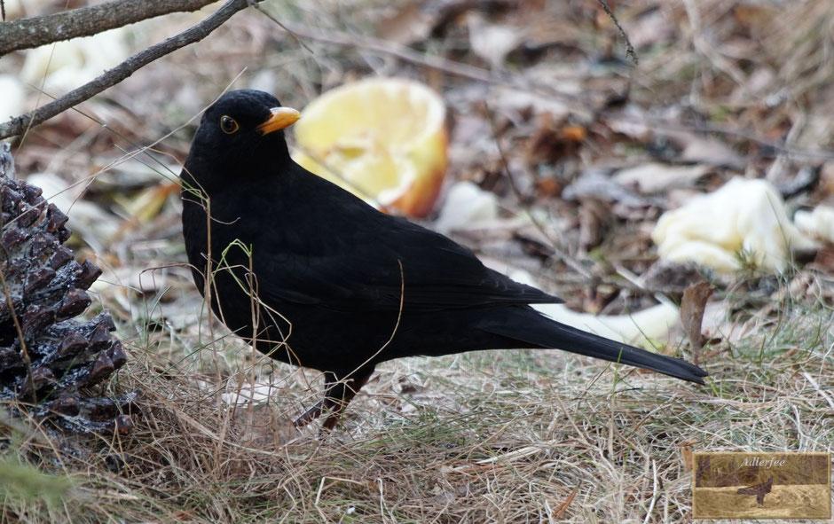 MenschundNatur, Amsel, Singögel