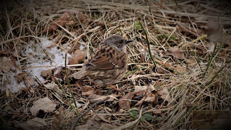 MenschundNatur-unsereZukunft, Singvögel, Heckenbraunelle