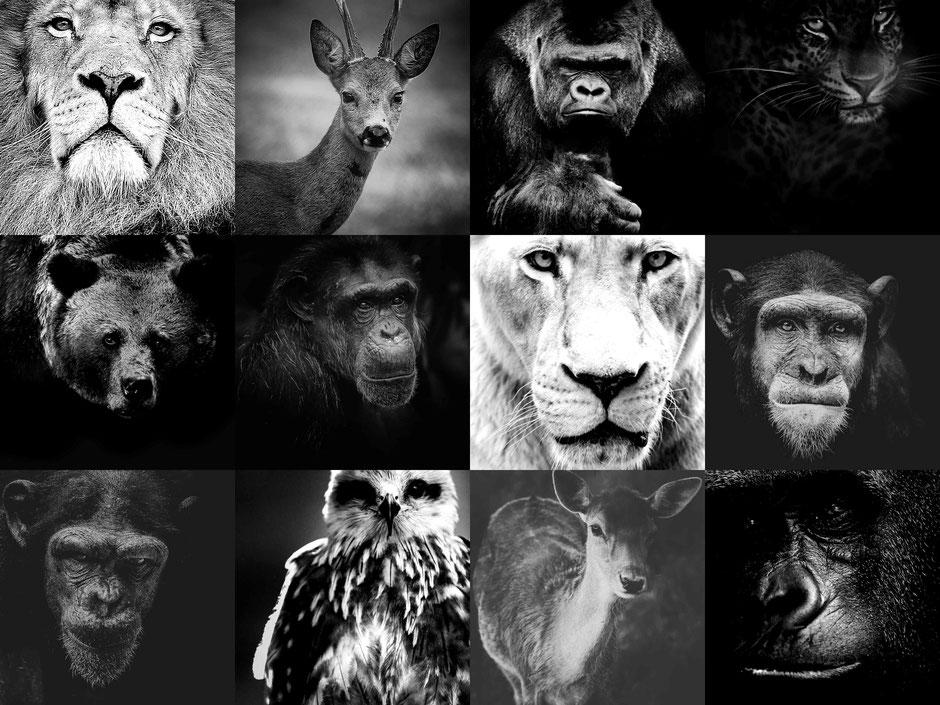 portrait headshot d'animaux en noir et blanc