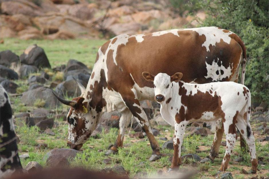 Link: zum Interview mit Monika Kowoll-Ferger (Kolpingwerk) über den Nutzen der Viehzucht in Burundi