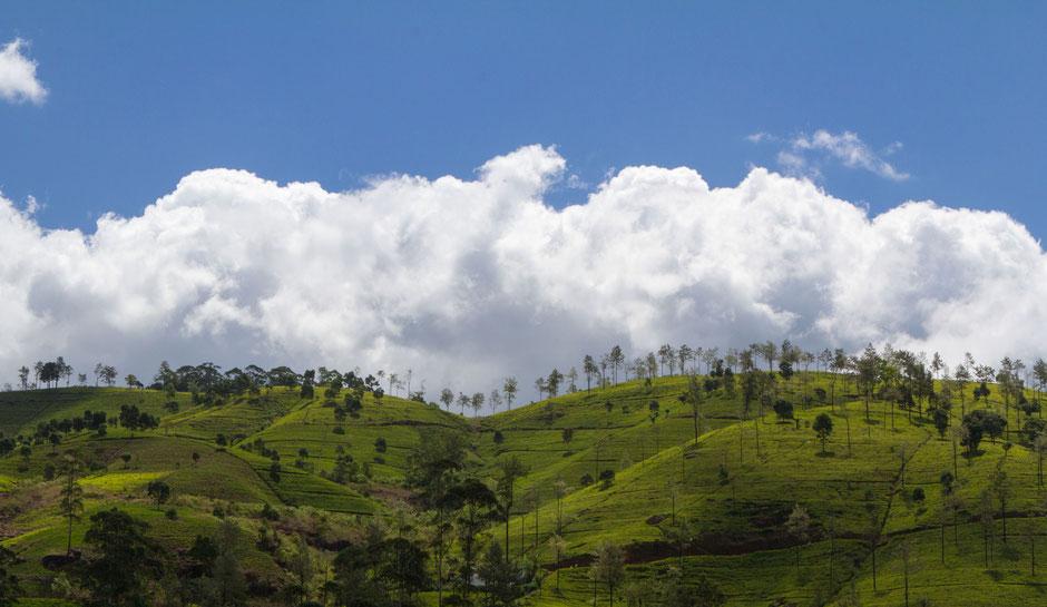green Tea estate Sri Lanka - Travelbees