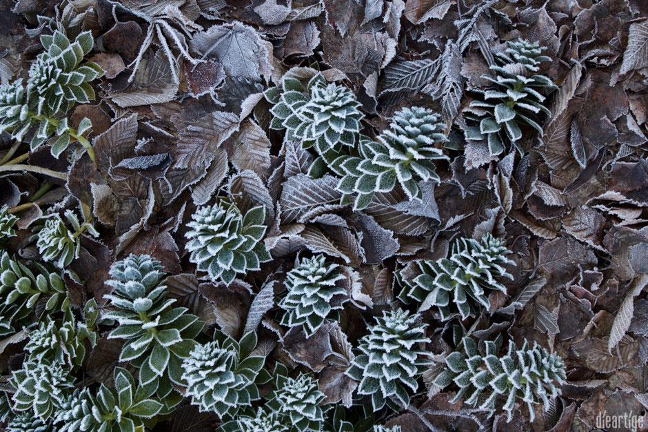 dieartigeBLOG - Wintergarten, Rauhreif + Eiskristalle, Walzenwolfsmilch im Laub