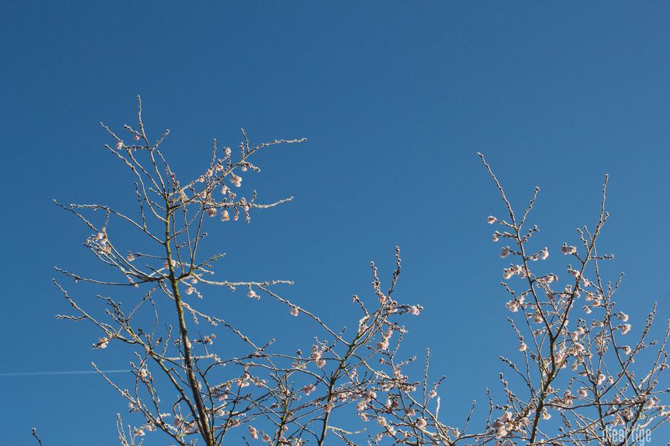 dieartigeBLOG - Wintergarten, Rauhreif + Eiskristalle, Winterkirsche / Schneekirsche