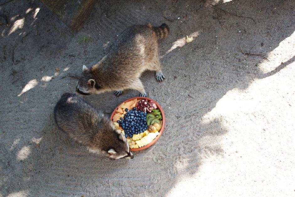 dieartigeBLOG - Waschbären bei der Fütterung