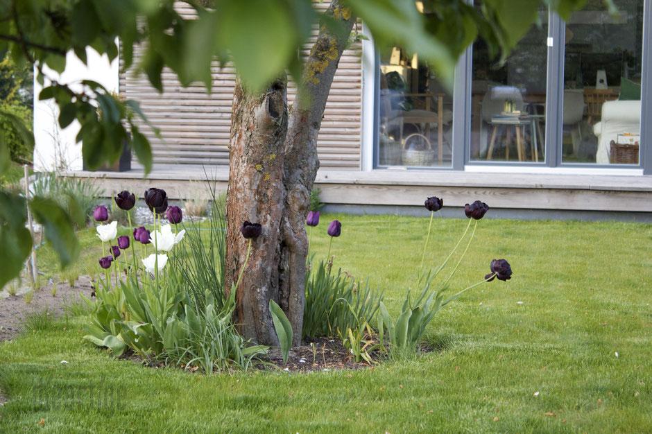 dieartigeBLOG - Tulpen unterm alten Apfelbaum
