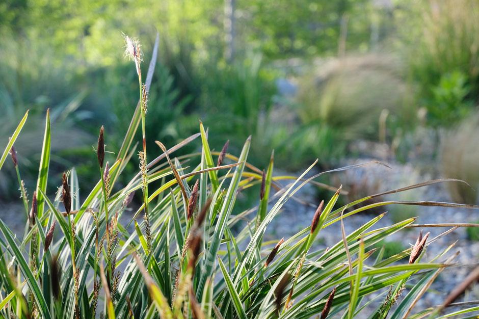 dieartigeBLOG - Frühling, im Kiesgarten, Japansegge