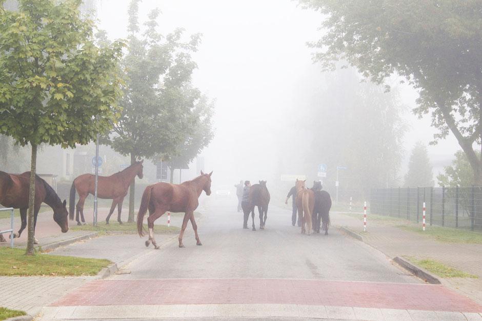 dieartigeBLOG - Im Herbstnebel, entflohene Pferde auf der Straße