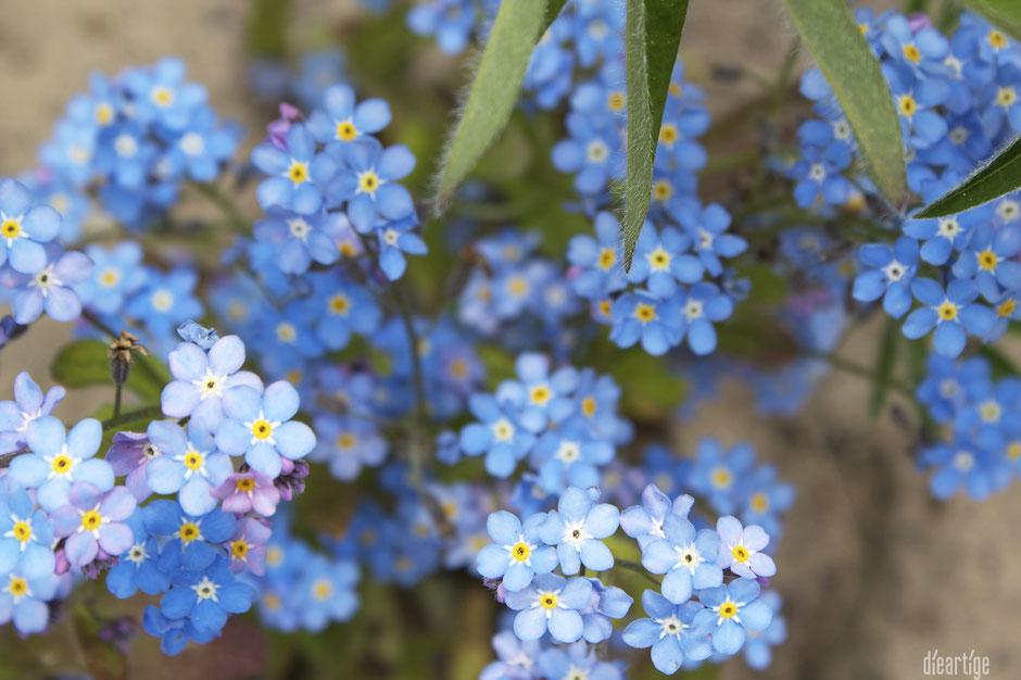 dieartigeBLOG - Frühling, im Kiesgarten, Vergissmeinicht