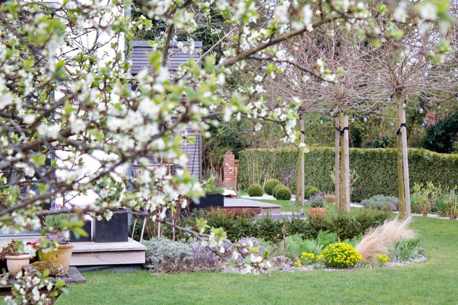 dieartigeBLOG - Frühling, im Kiesgarten, Pflaumenblüte, Zypressenwolfsmilch