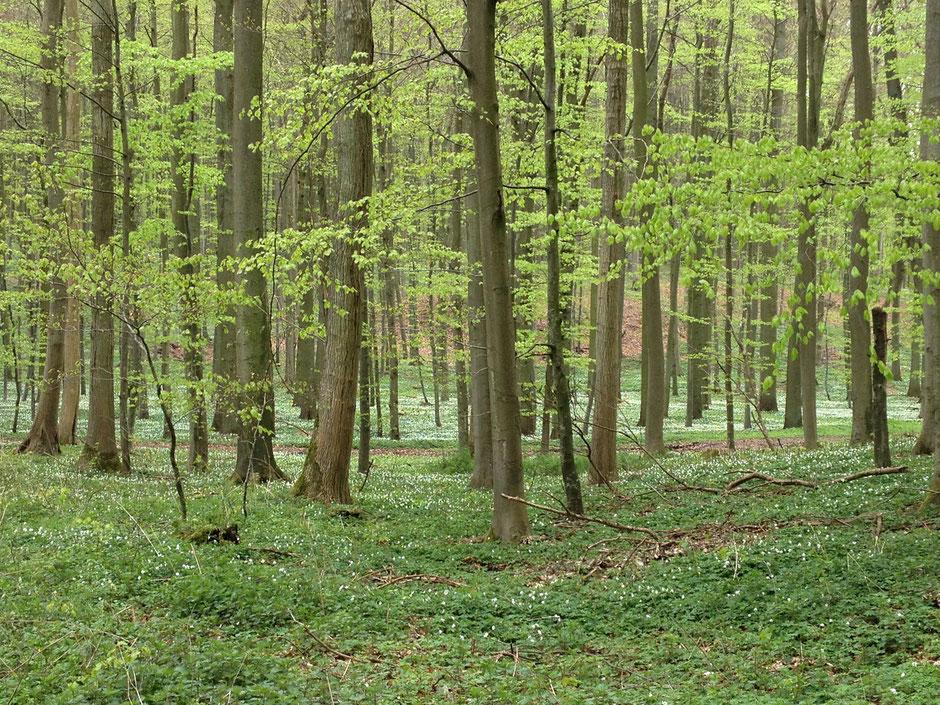 dieartigeBLOG - Buchenwald mit Anemonen auf Rügen