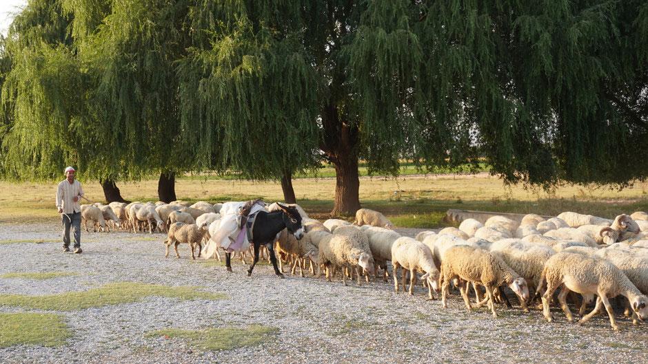 Schäfer und Esel mit viel Wolle