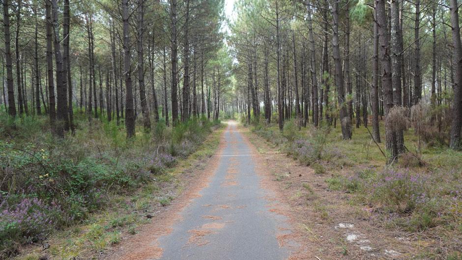 Kiefernadelnfahrbahnspuren im Naturreservat