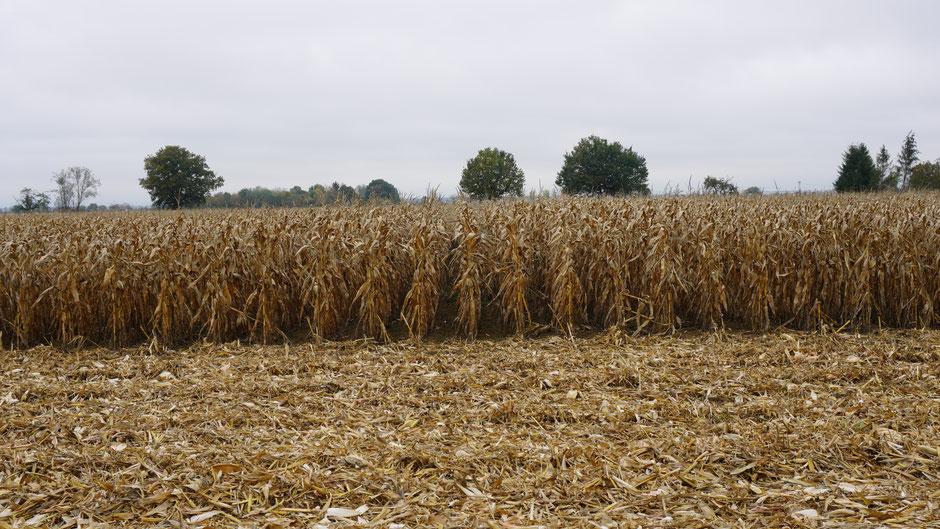 Mais - schaut aus wie zusammengebunden ...