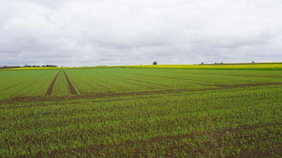 Neue Saat bringt grün und gelb in die Landschaft ...