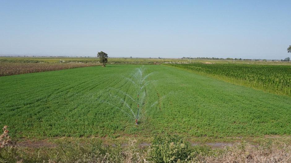 Näher zu Bursa hin wird bewässert. Es wird auch Reis angebaut, Tomaten und Paprika sowieso