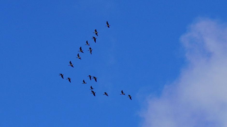 Gänse im Formationsflug