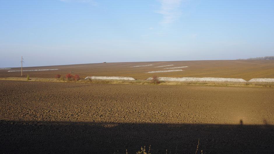 Zurckerrübenfeld, eines von vielen und von größerer Sorte